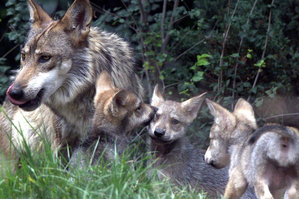 Anuncian nacimiento de siete crías de lobo mexicano en CDMX